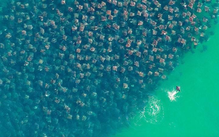 золотые скаты - Представьте, что вы плывёте на лодке, а под вами ..... золотое море