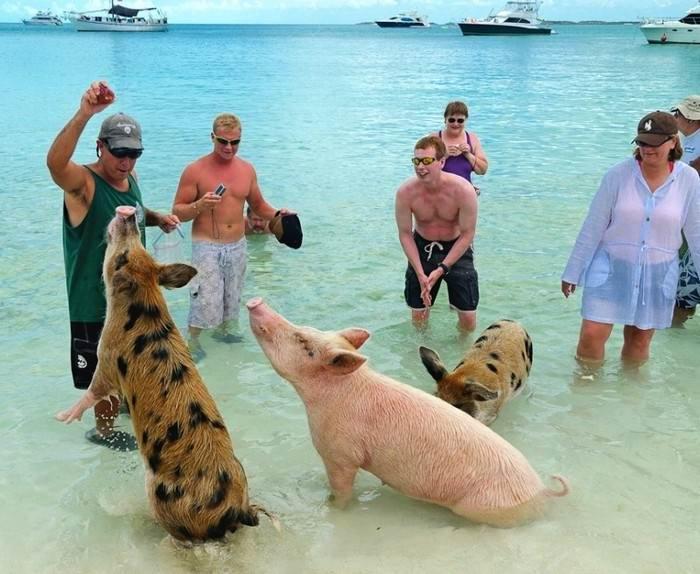 90398590_large_swimming_pigs_big_major_cay_7 - Остров свинок или счастлив как свинья.... на Багамах