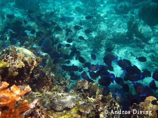 coralbluefish