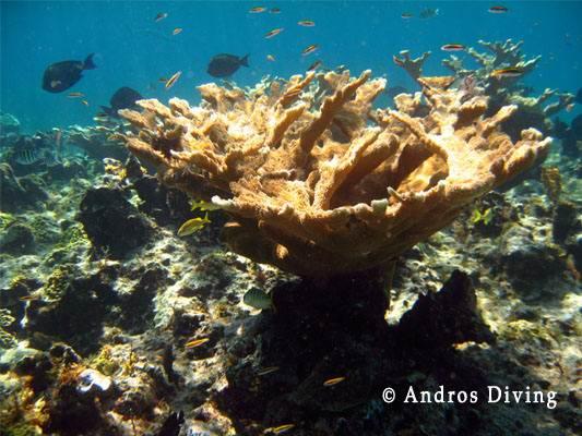 Остров Андрос - чудо природы на Багамах elkhornshark