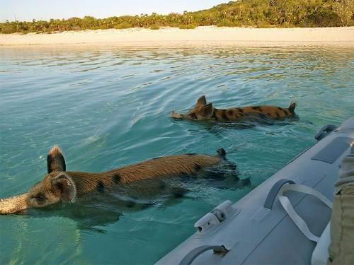 porosyachij-raj3 - Остров свинок или счастлив как свинья.... на Багамах