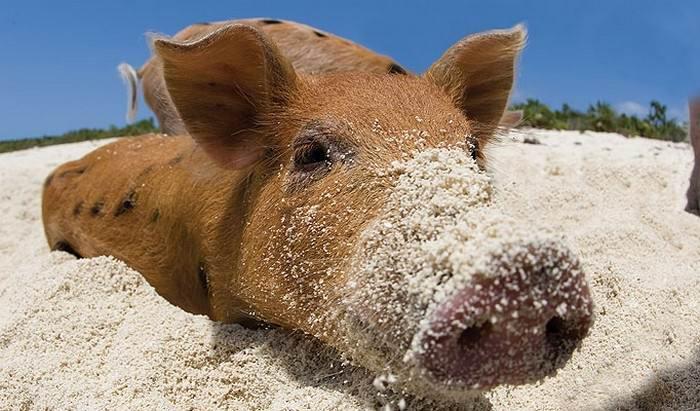 swimming_pigs_big_major_cay_2 - Остров свинок или счастлив как свинья.... на Багамах