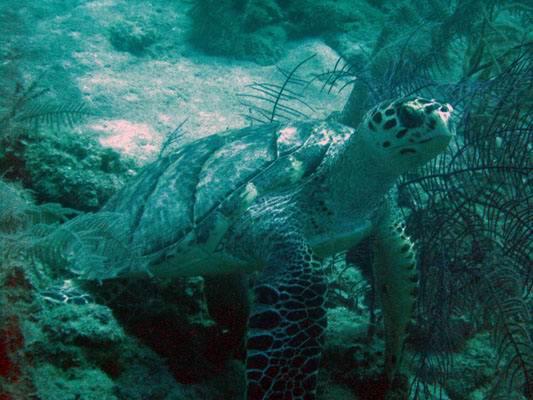 Остров Андрос - чудо природы на Багамах turtlegreencay
