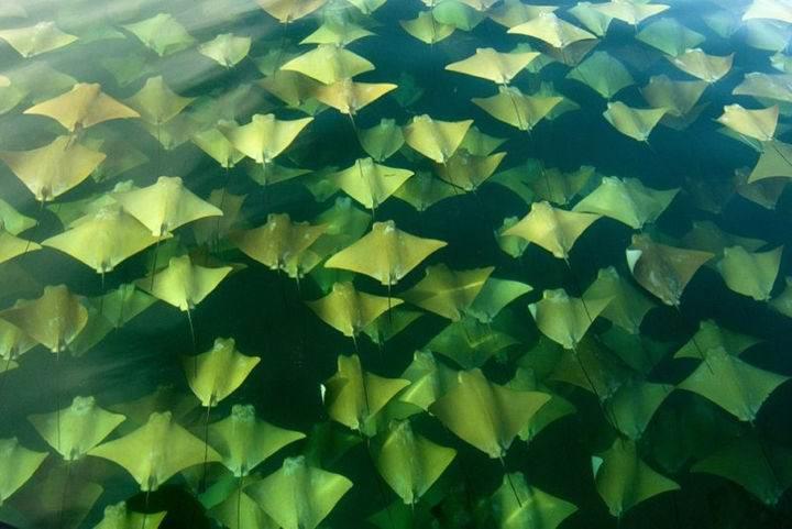 золотые скаты миграция - Представьте, что вы плывёте на лодке, а под вами ..... золотое море