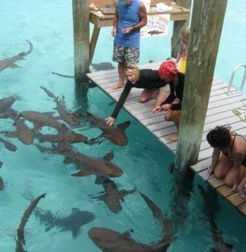 как покормить акулу на Багамах