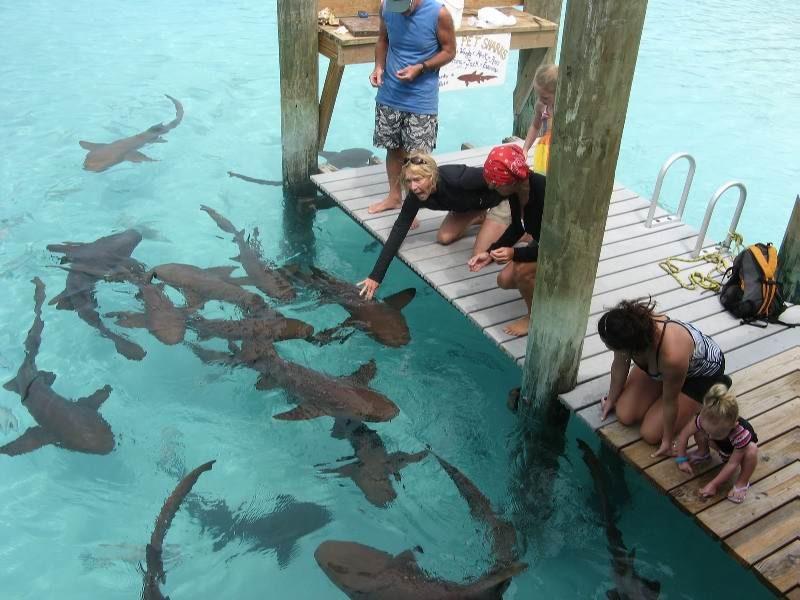Экзотическое развлечение на Багамах - кормление акул на острове Эксума