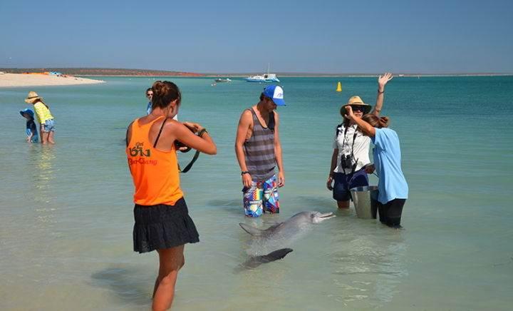 monkey-mia пляж, на который дельфины приплывают посмотреть на людей - Дельфинотерапия, или пляж, на который дельфины приплывают посмотреть на людей