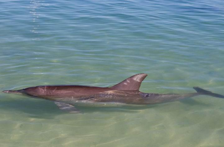 monkey-mia залив дельфинов - Дельфинотерапия, или пляж, на который дельфины приплывают посмотреть на людей