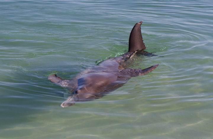 monkey-mia-пляж, на который дельфины приплывают посмотреть на людей - Дельфинотерапия, или пляж, на который дельфины приплывают посмотреть на людей