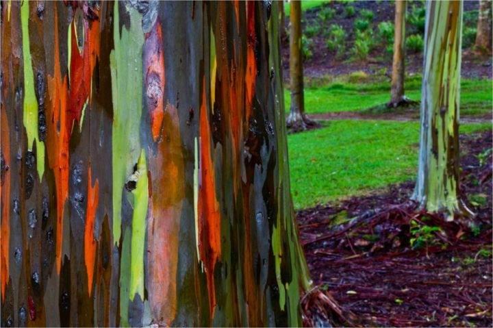 радужные эквалипты - 39 удивительных и сумасшедших природных явлений - часть 3