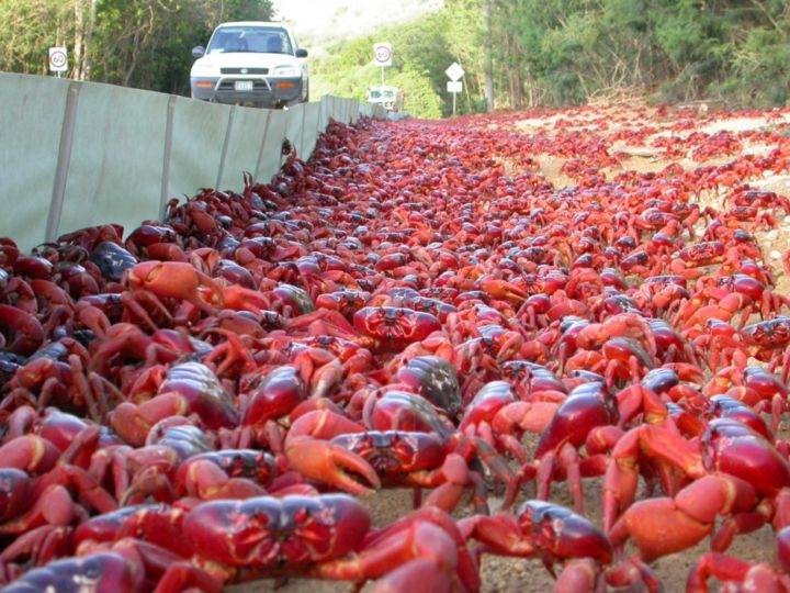 миграция красных крабов - 39 удивительных и сумасшедших природных явлений - часть 2
