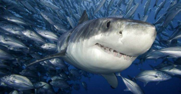 факты и информация об акулах