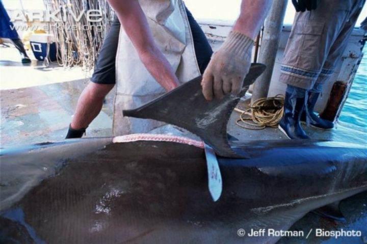 убивают акул - 22 убедительных доказательства, что акулы - самые удивительные существа в море