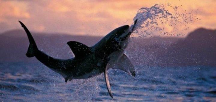 акула охотится - 22 убедительных доказательства, что акулы - самые удивительные существа в море