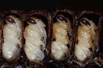 1330446207_65 - Самые вкусные блюда из насекомых в Тайланде